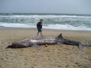 Пьяный серб случайно убил акулу в Шарм-эль-Шейхе