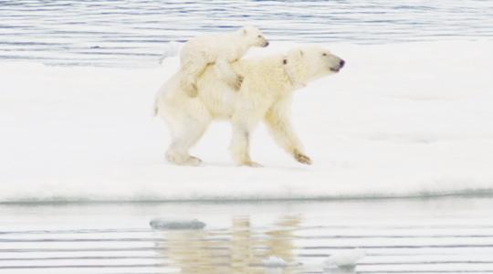 Белые медведи эволюционируют
