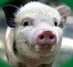 Россия первой в мире разрешила пересаживать людям клетки свиней